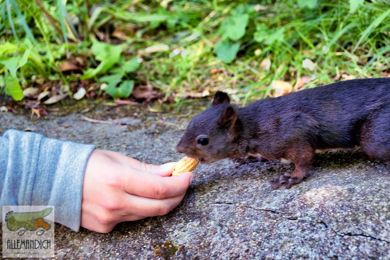 scoiattolo triberg