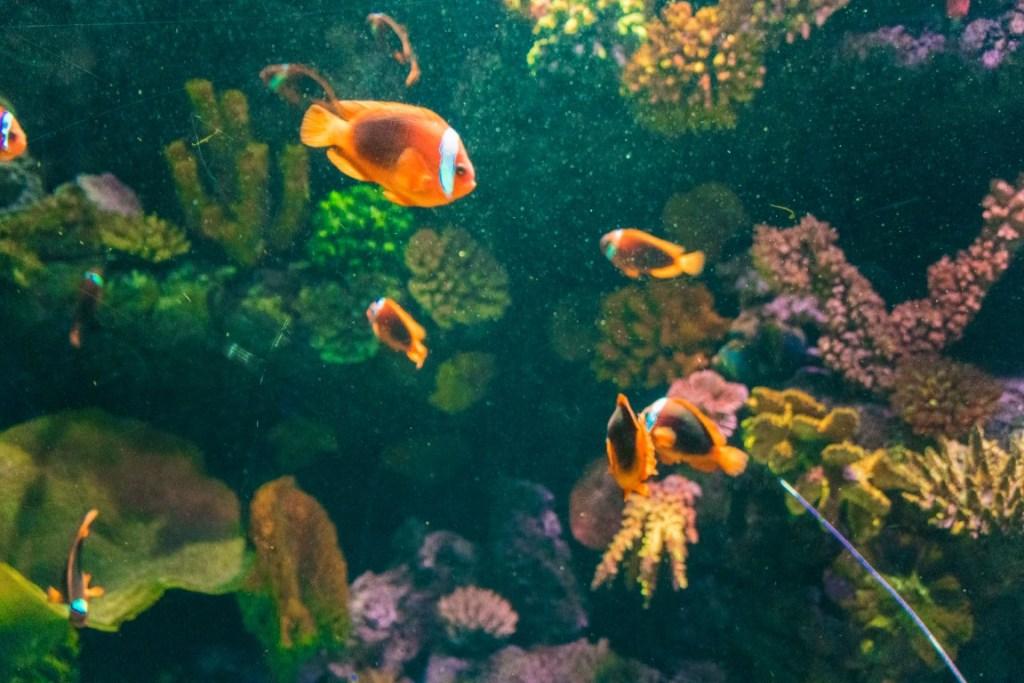 Pesci pagliaccio al Gardaland Sea Life