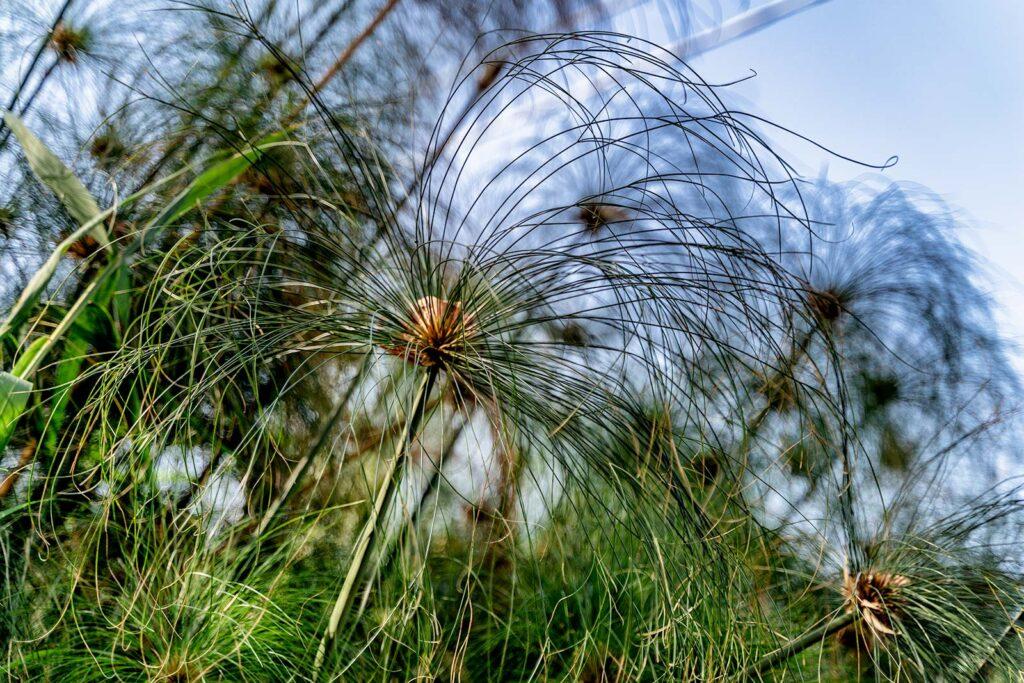 piante di papiro