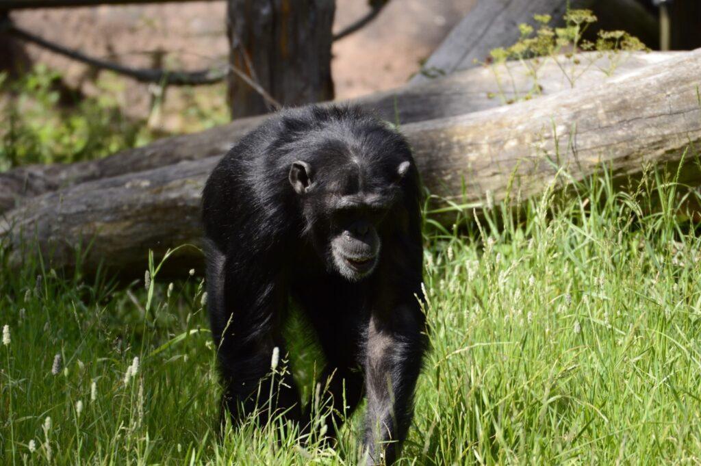 scimpanzé solo