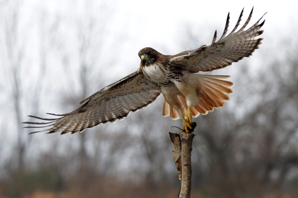 Un falco in volo durante uno spettacolo.