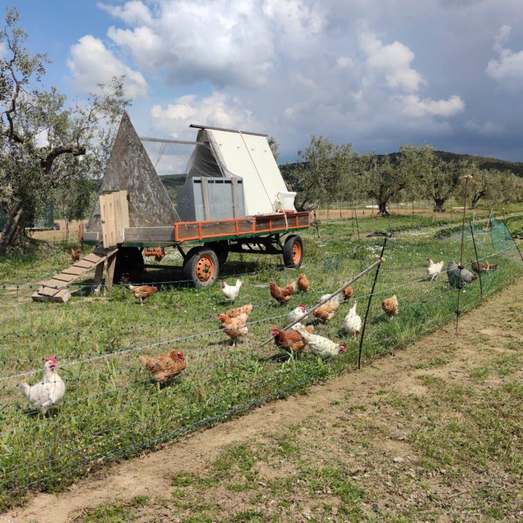 galline ovaiole nel pollaio