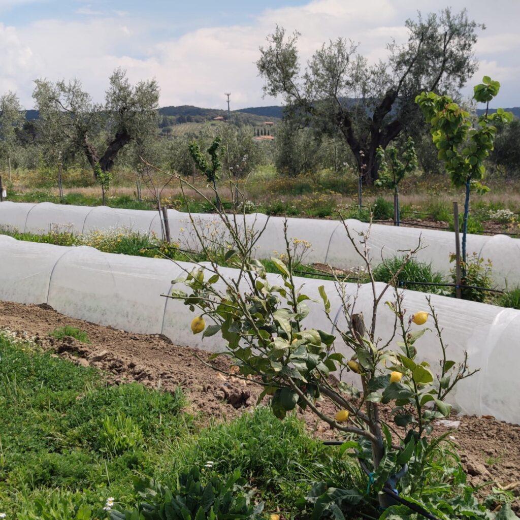Limoni e altre colture ben protette