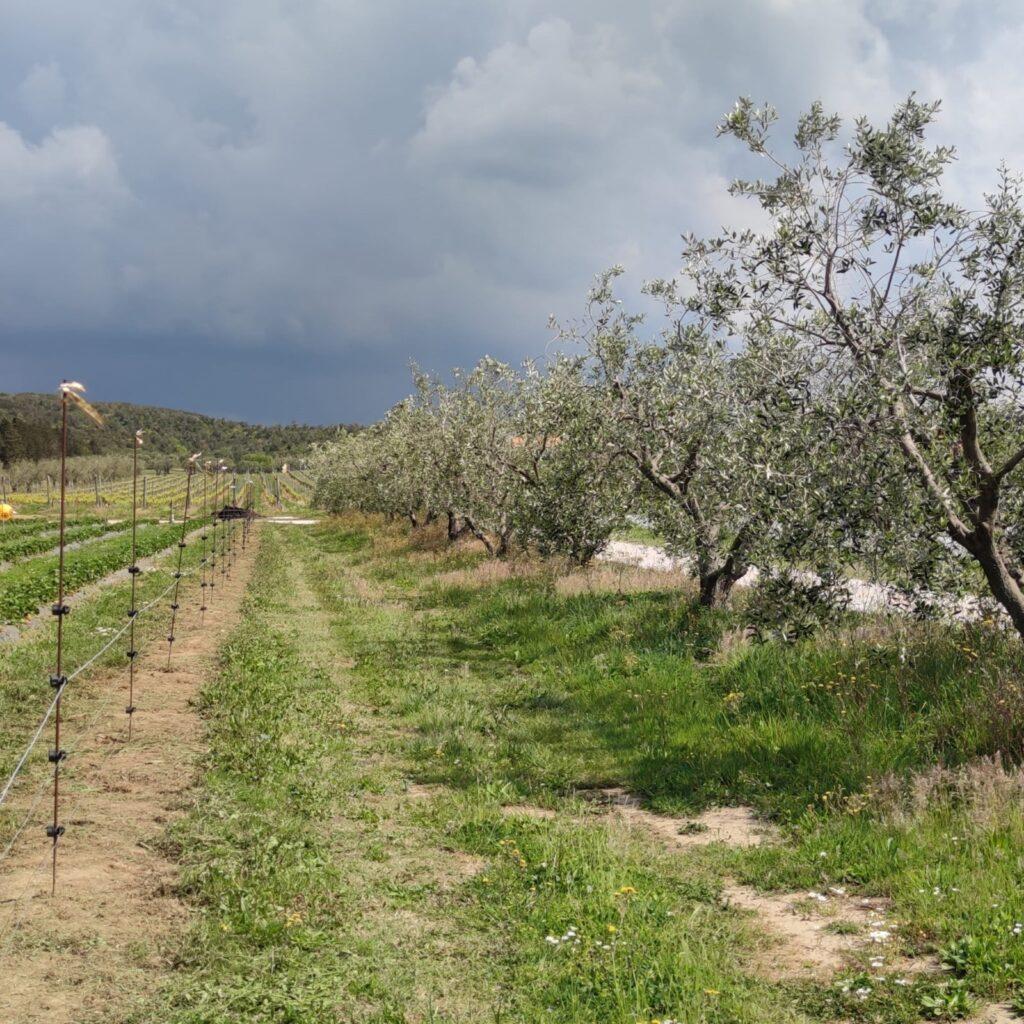 ulivi e campi coltivati