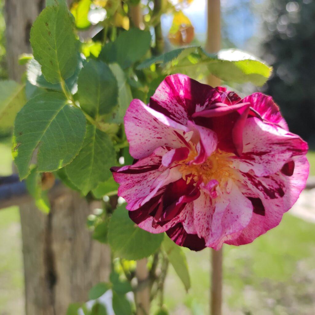 Rosa dell'orto di Miradolo