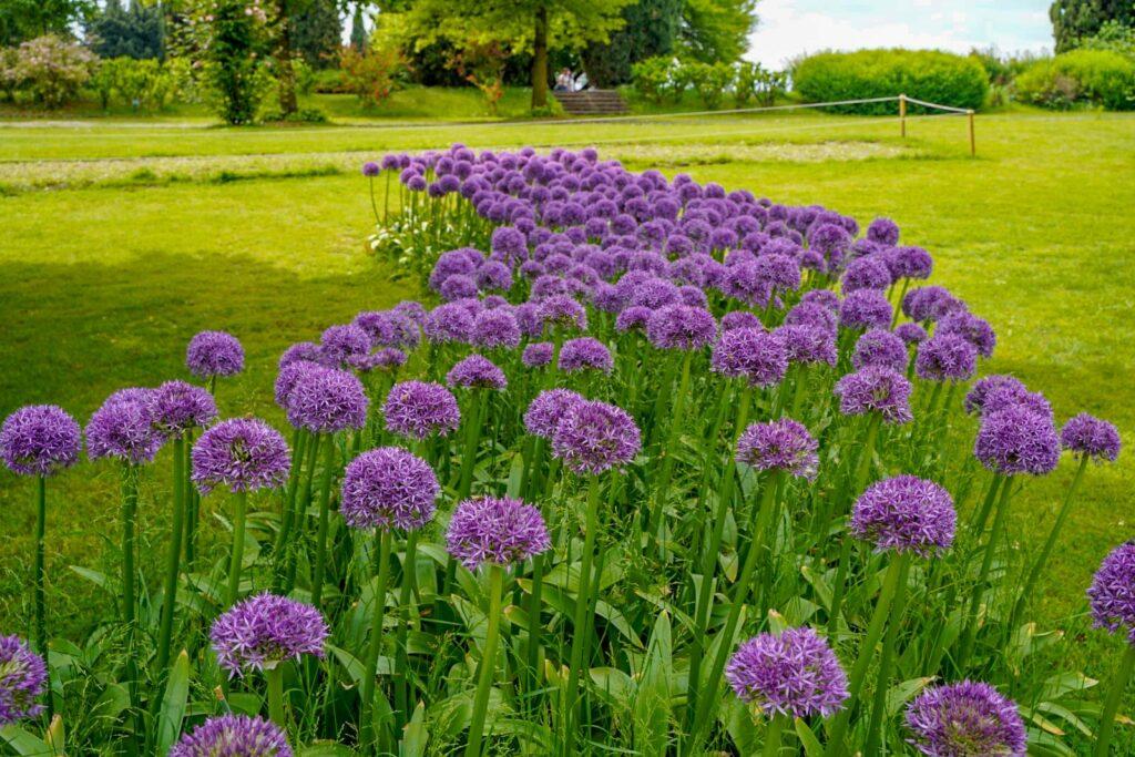 fiori di aglio ornamentale