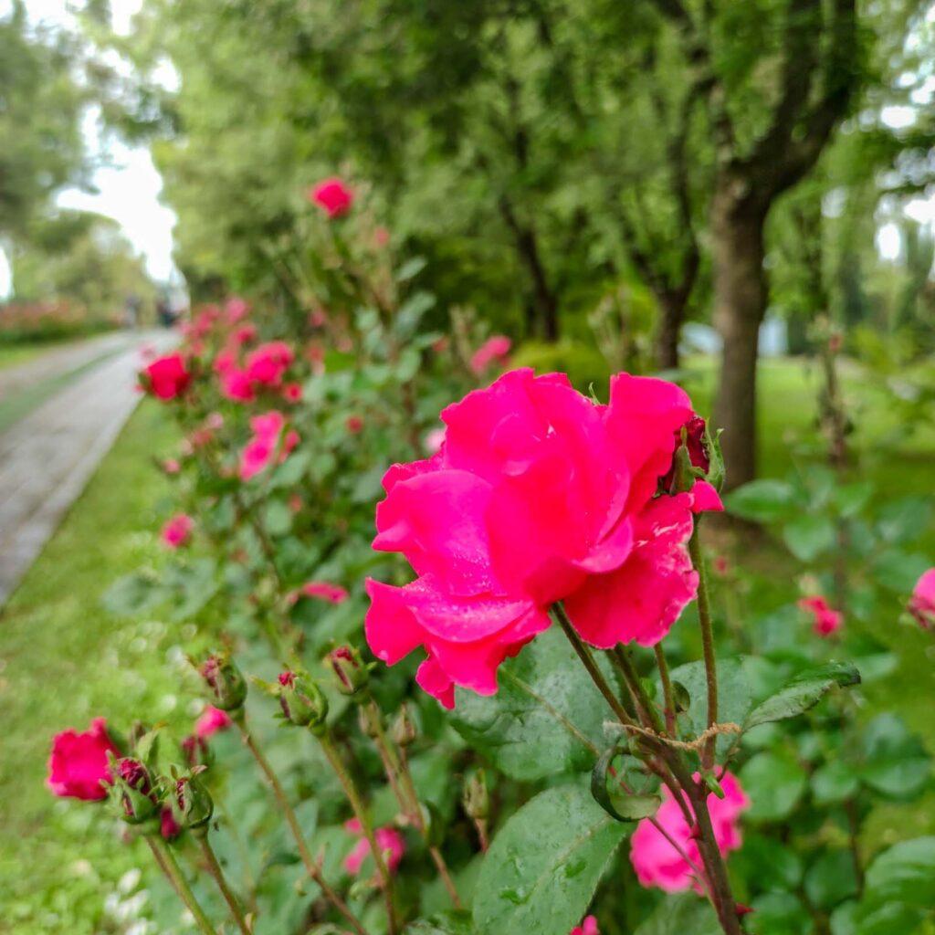 primo piano di una rosa