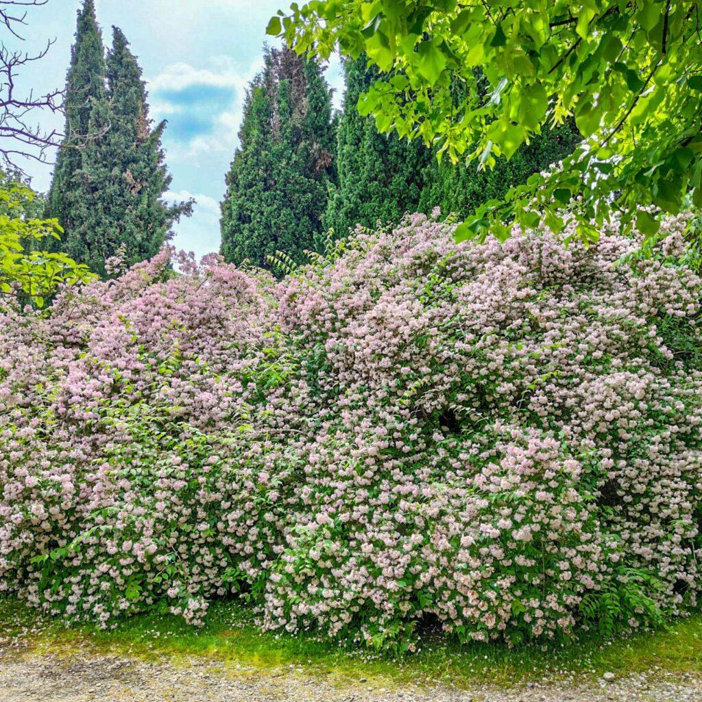 siepe fiorita nel giardino