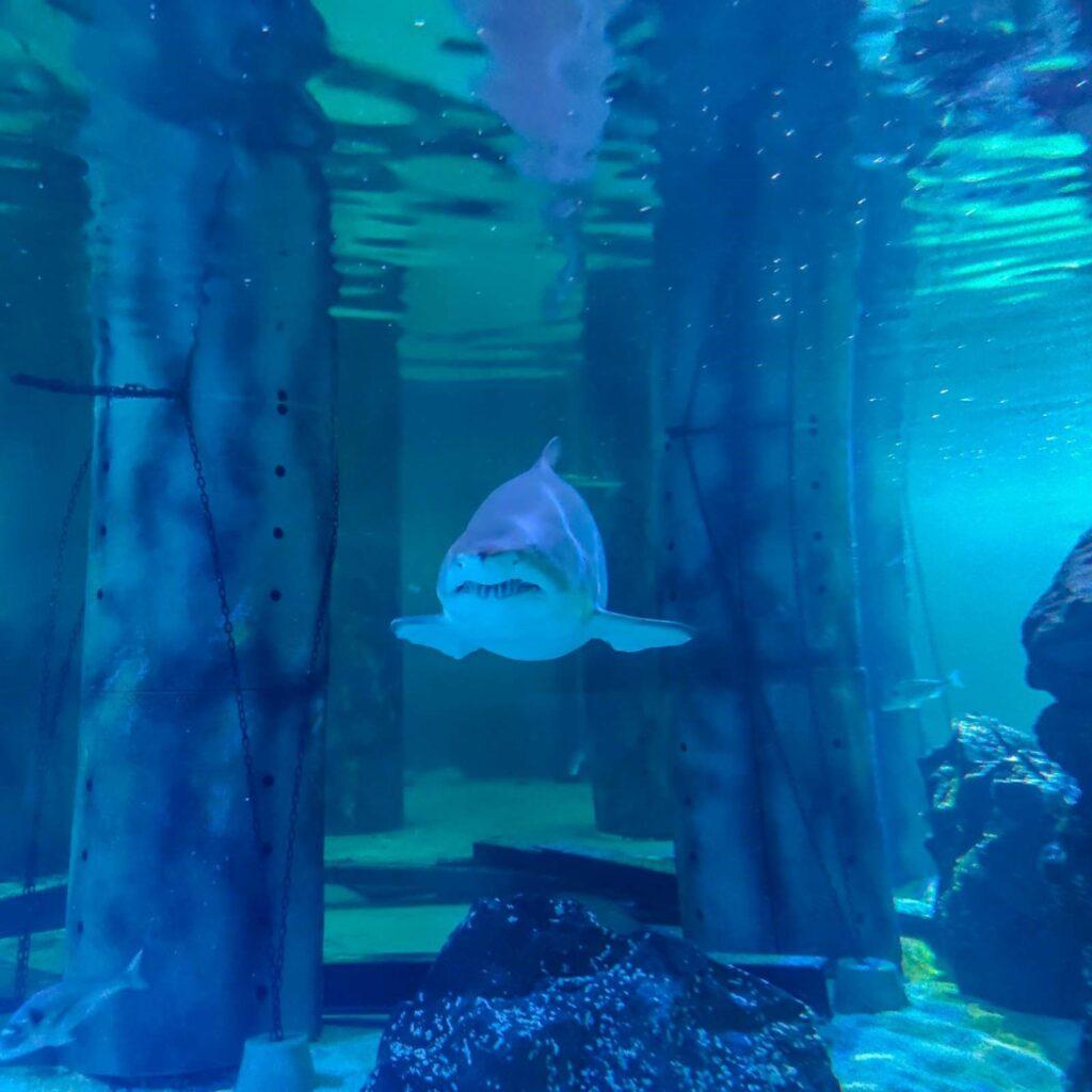 squalo toro