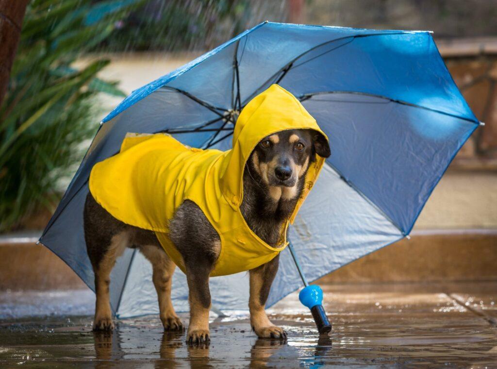 cane con impermeabile e ombrello